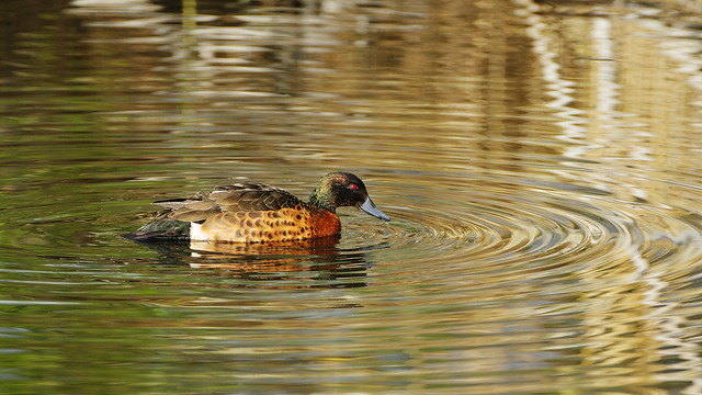 Male Chestnut Teal