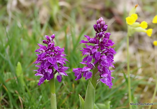 0S8A5900. Early Purple Orchid (Orchis mascula)