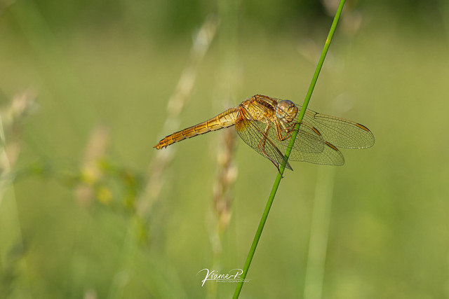 Feuerlibelle (Crocothemis erythraea) - Weibchen