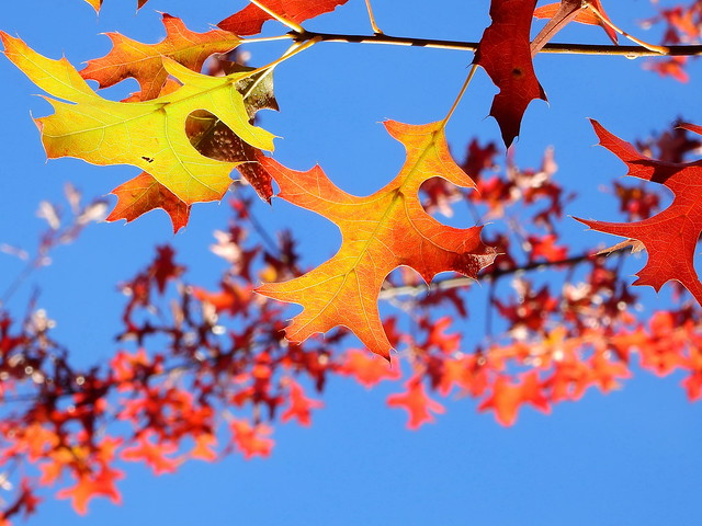 Quercus palustris II