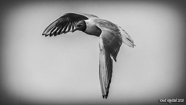 Hooded gull BW