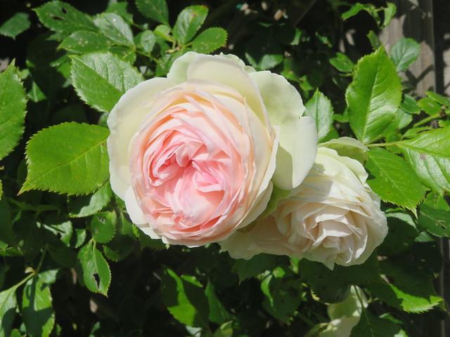 Pour mon amie FRANCOISE, Bon Anniversaire ! Roses