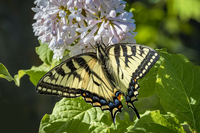 Canadian Tiger Swallowtail working  Lilac Bloom