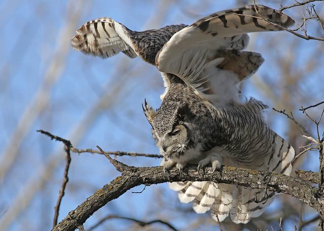 Great Horned Owl...#31