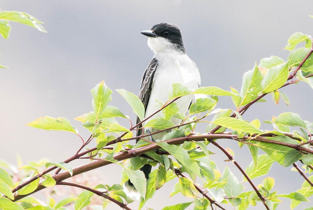 Eastern Kingbird 2 (1 of 1)