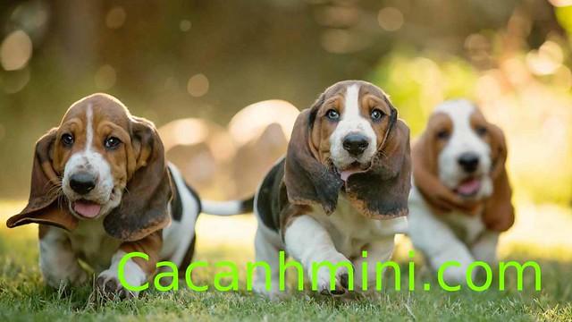 5 giống chó không rụng lông phù hợp với Sen bị dị ứng