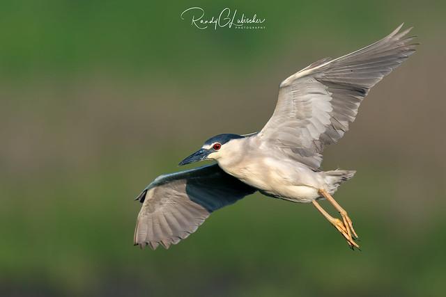 Black-crowned Night Heron | Nycticorax nycticorax | 2021 - 4