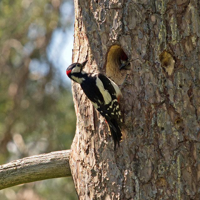A Great Spotted Woodpecker in Stockholm, feeding its young