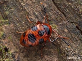 Darkling beetle (Amarygmus nigromaculatus) - P5309645