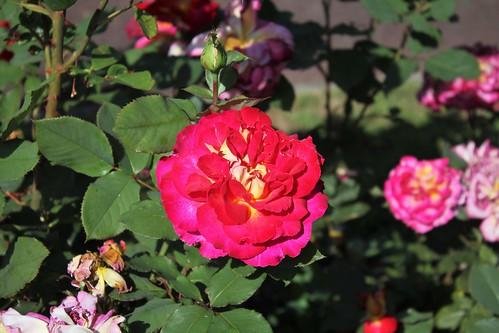 Rosier ' Bolchoï ' - Meilland Zuzes 1997 51249059154_6de97d49b7