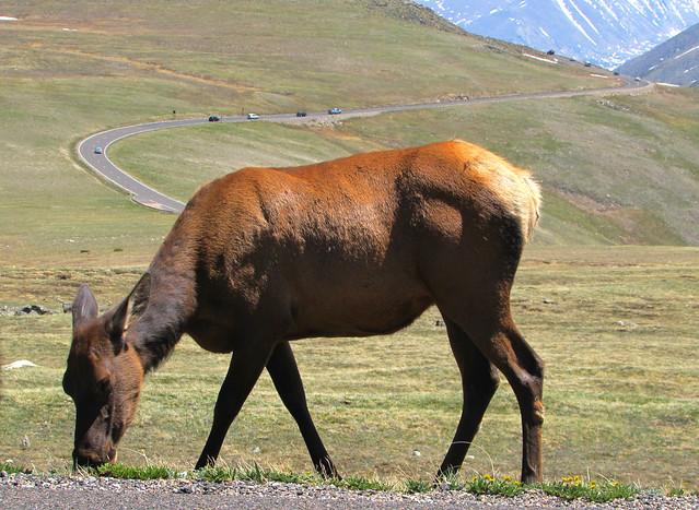 Roadside elk