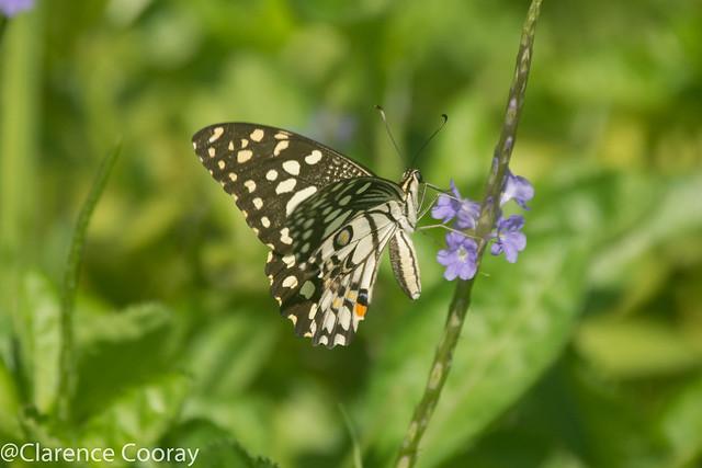 DSC_7169 (Lime Butterfly)