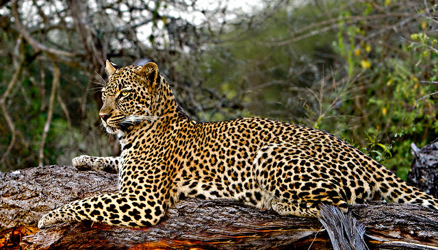 Relaxing female Leopard ( Panthera pardus) explored 15 June 2021