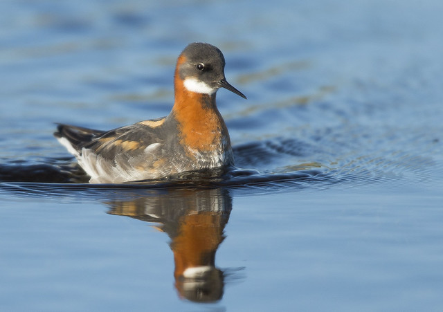 Red Necked Phalarope  North Uist Outer Hebrides Scotland June 2021