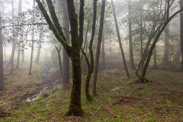 Foggy Grove