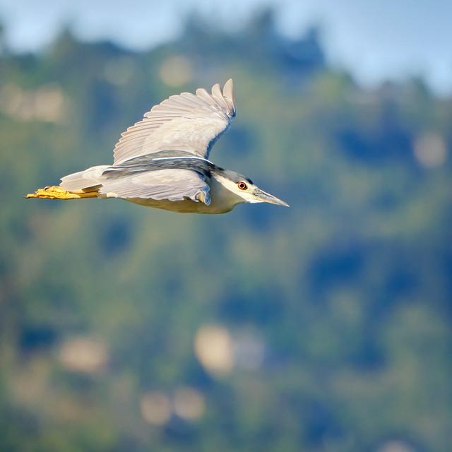 Black-crowned Night Heron gliding