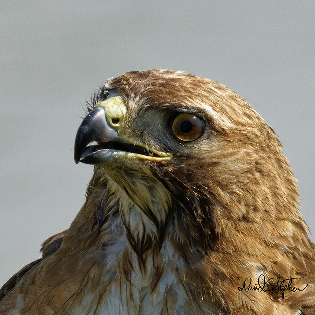 Red-tail Hawk Close Up