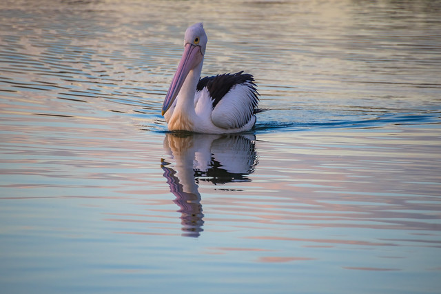 Pelican and reflection in the sunset light