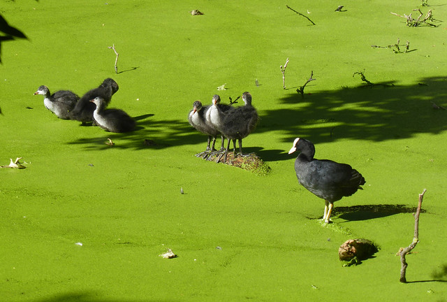 Coot and Chicks, Brookmill Park, Deptford, London