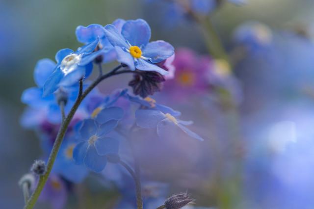 Little blue forgetmenots