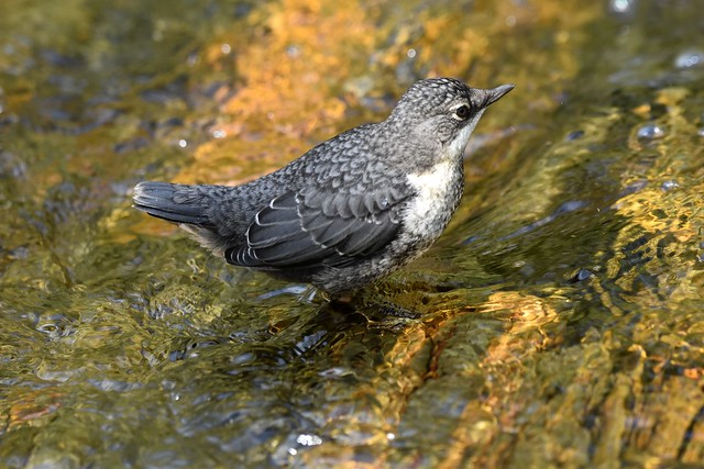 Fledgling dipper on the river bed