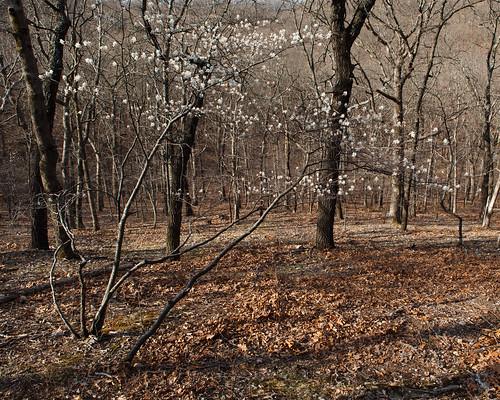 Sun, 04/03/2011 - 09:12 - Serviceberry (Amelanchier arborea [Rosaceae]) Flowers, Tyson Forest Dynamics Plot.  PC: Jonathan Myers