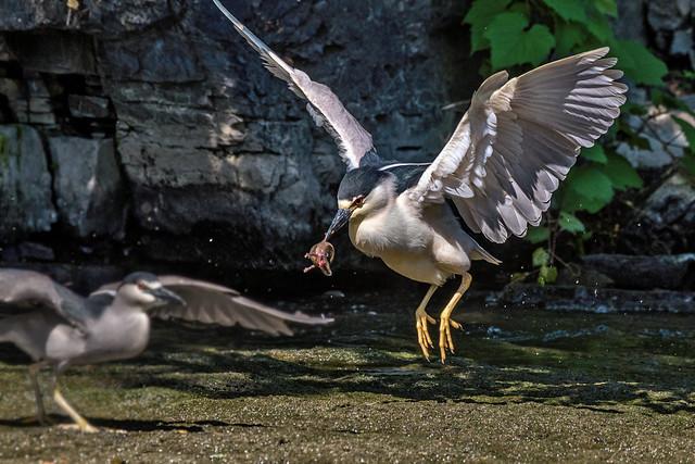 Bihoreau gris et pauvre salamandre  (necture tacheté) --- black-crowned night heron --- Martinete común