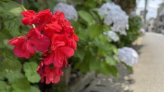 紅白の紫陽花