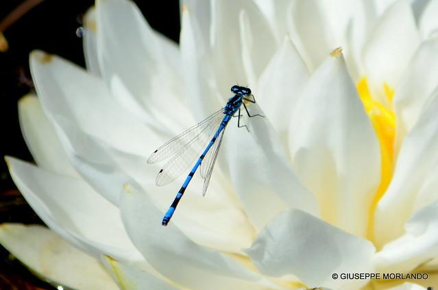 Male blue damselfly on a nympheae