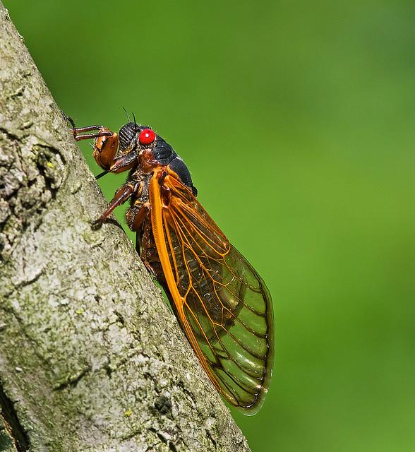 Brood X Cicada (Magicicada septendecim)
