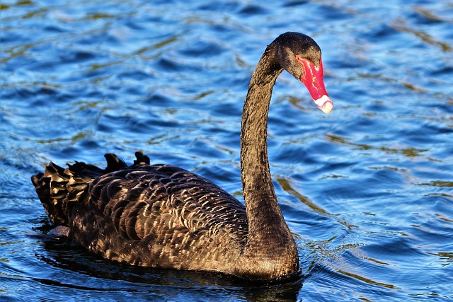 Black Swan...on the Swan River, South Perth