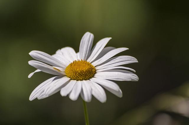 Daisy-9780-1
