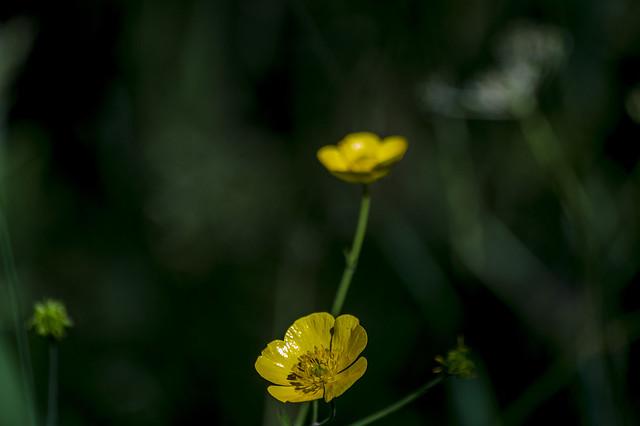 Buttercup-9776-1