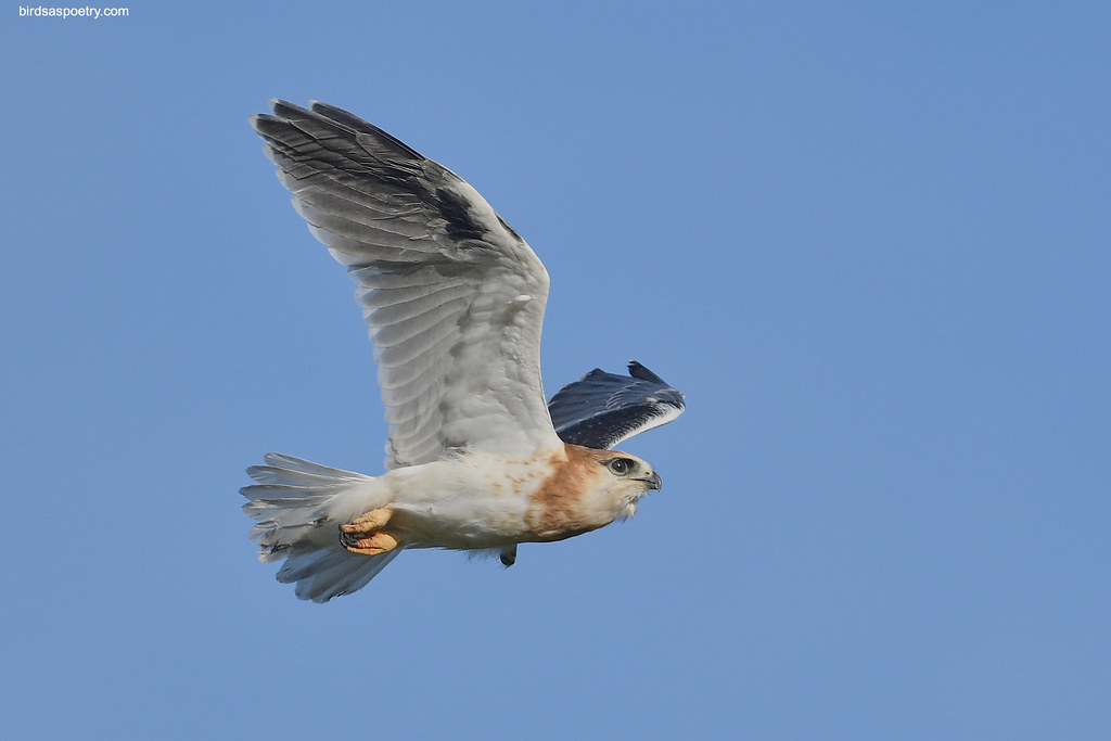 Black-shouldered Kite: In bound (J), For Eleanor