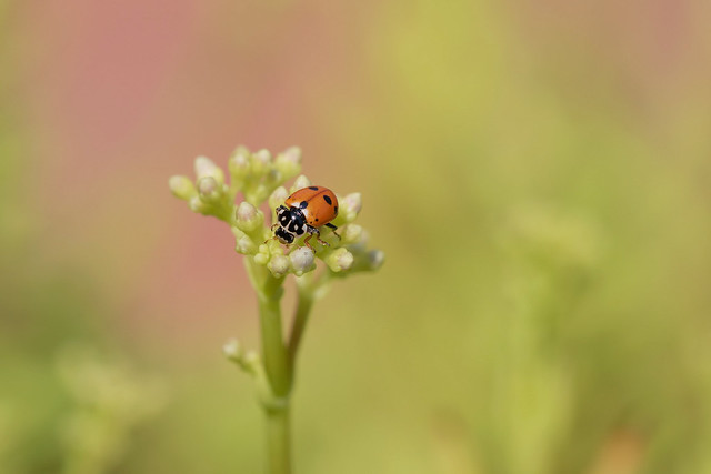 Coccinella - Ladybug