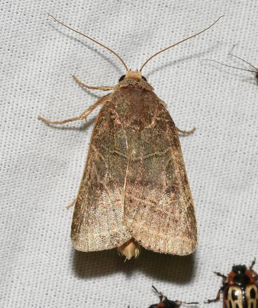 #10585 – Orthodes majuscula  – Rustic Quaker Moth