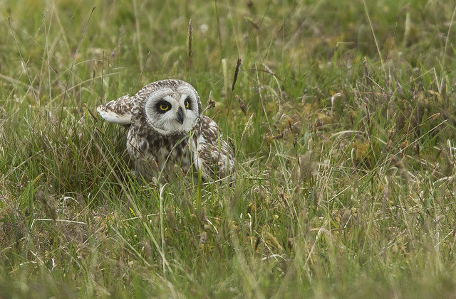 Short Eared Owl  North Uist Outer Hebrides Scotland June 2021
