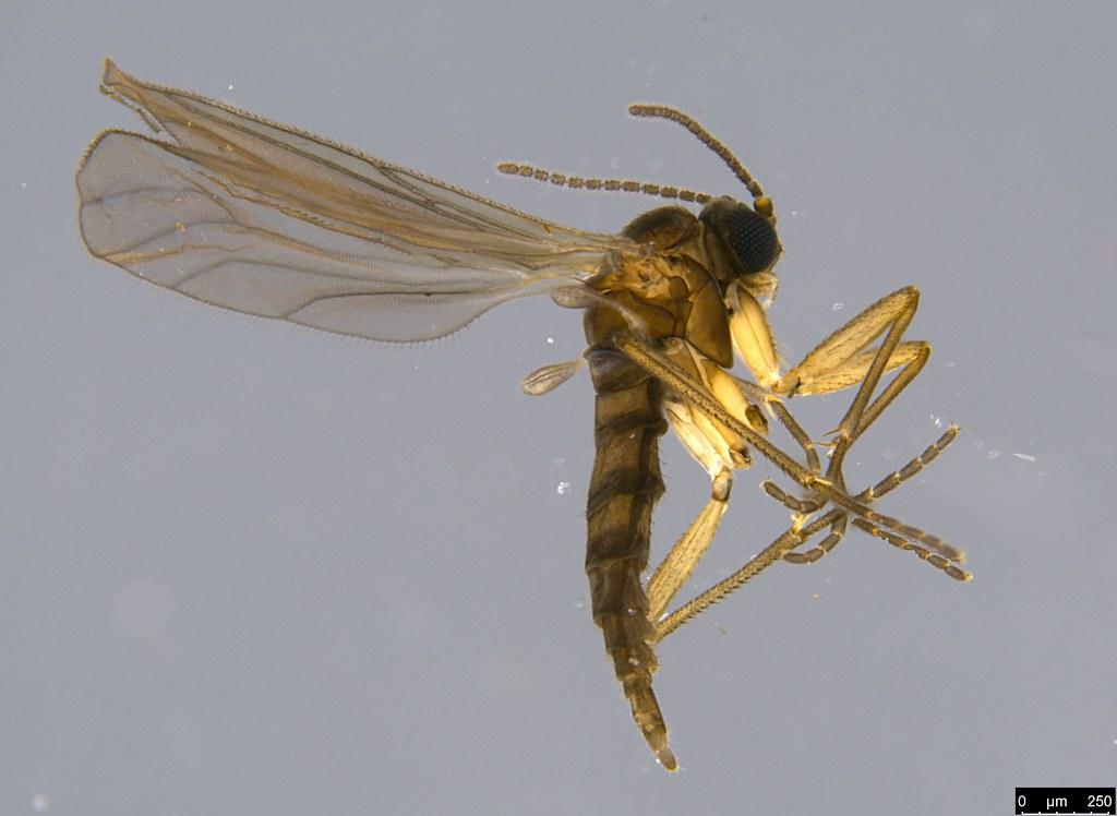 2 - Sciaroidea sp.