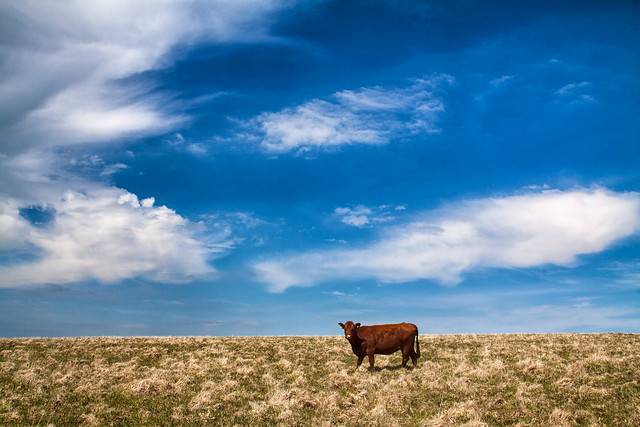 The loneliness of the red cow