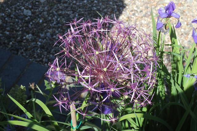 Allium in our Garden, UK.