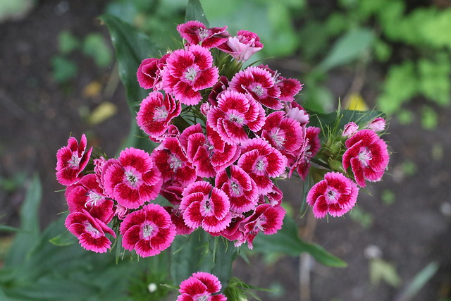 Sweet William in our Garden, Hillview, UK.