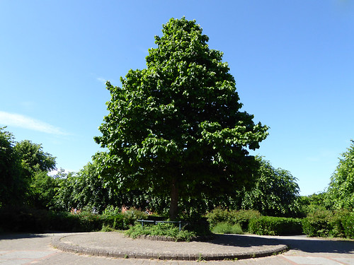 Lime Tree from a Fabourite Bench