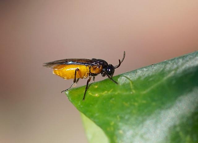 Large Rose Sawfly --- Arge pagana