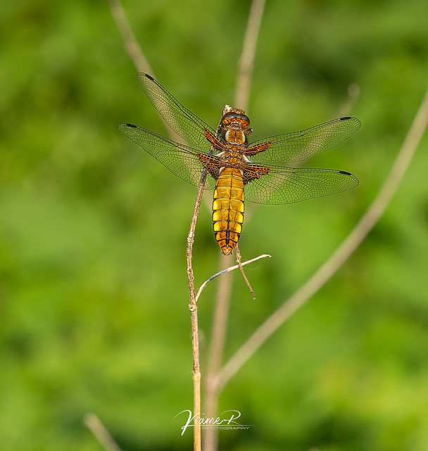 Plattbauchlibelle ( Libellula depressa ) Weibchen