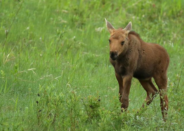 Moose calf...#8