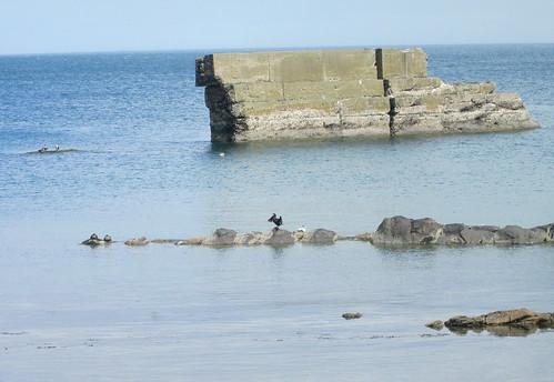 cormorant , Seafield, Kirkcaldy, Firth of Forth, Fife