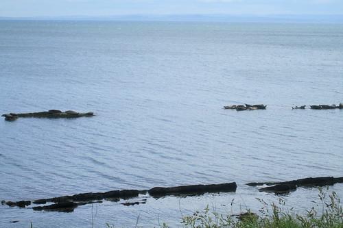 seals , Firth of Forth, Seafield, Kirkcaldy, Fife