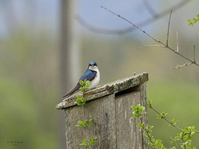 Tree Swallow, Addison, VT.