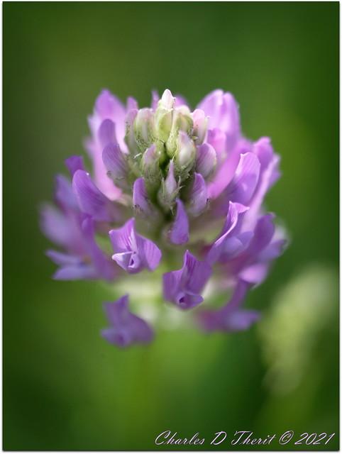 Field Milkvetch
