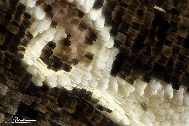 Detalle escamas de polilla 20x